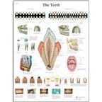 Obraz ľudských zubov - 1001510B3
