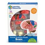 Anatomický model mozgu - LER3335