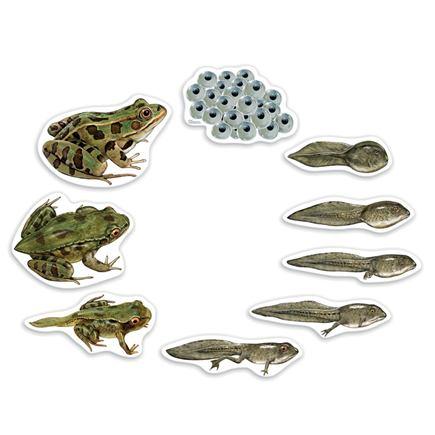 Magnetický, životný cyklus žaby - SC00680BB